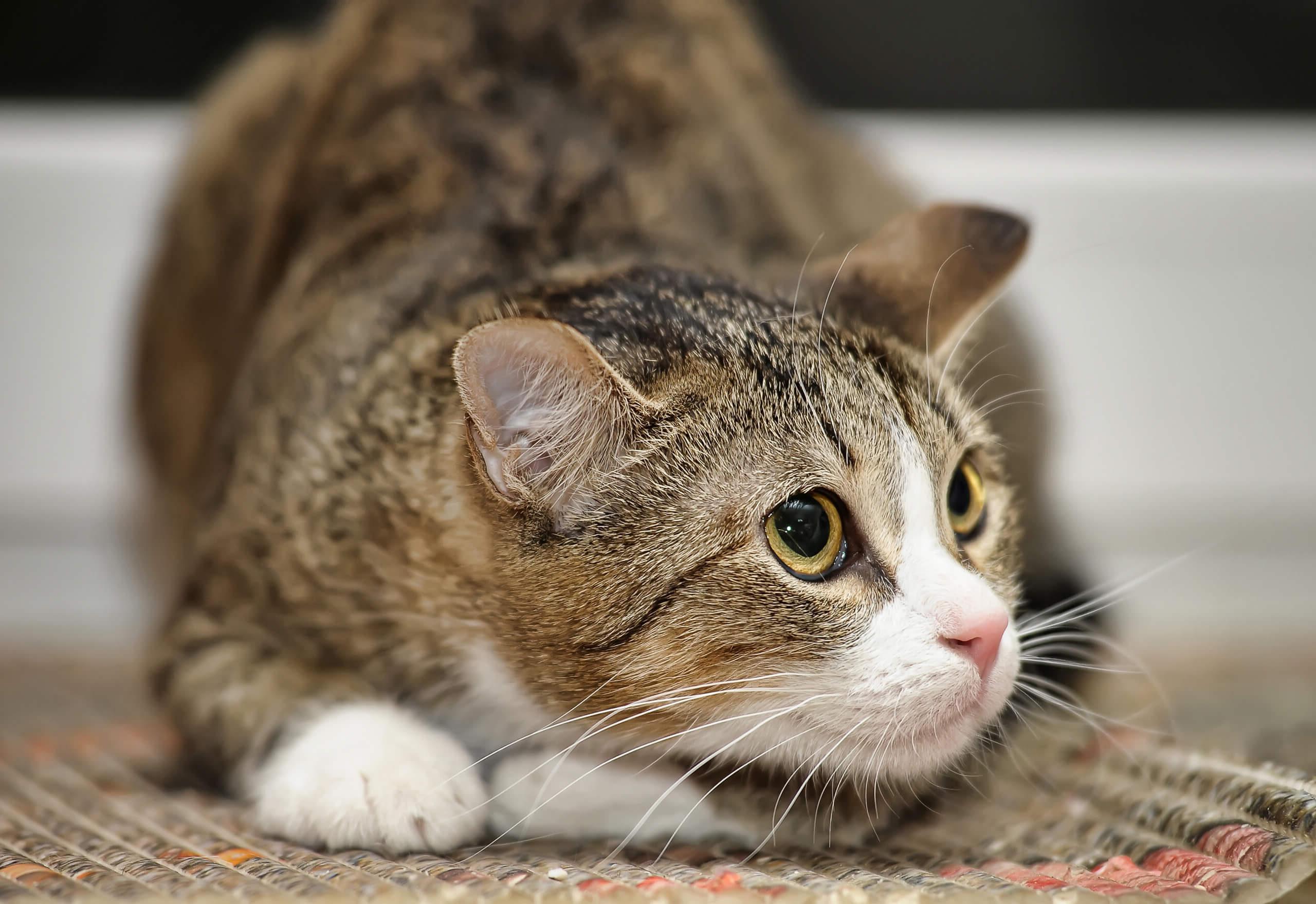 Wie werden ängstliche Katzen zutraulich   Cat's Best
